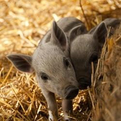 Michigan Swine ISO