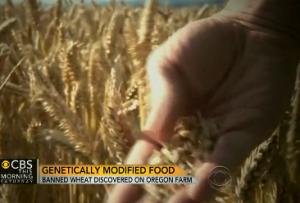 GMO_wheat_CBS