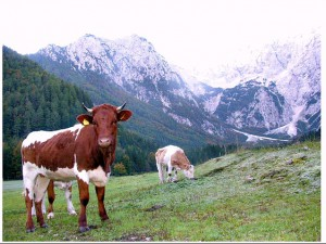 Cika cows, the native breed, on mountain pasture