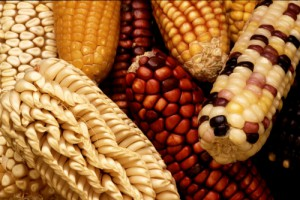 Mexico has over 100 varieties of native corn that are threatened by GMO corn from the U.S.